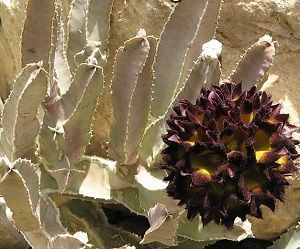 Can A Caralluma Herb Help You Slim Down?